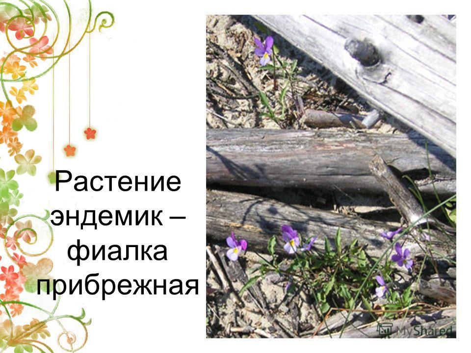 Растение эндемик – фиалка прибрежная