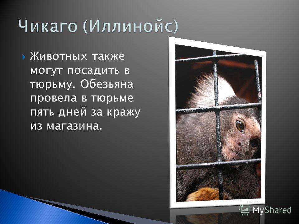 Животных также могут посадить в тюрьму. Обезьяна провела в тюрьме пять дней за кражу из магазина.