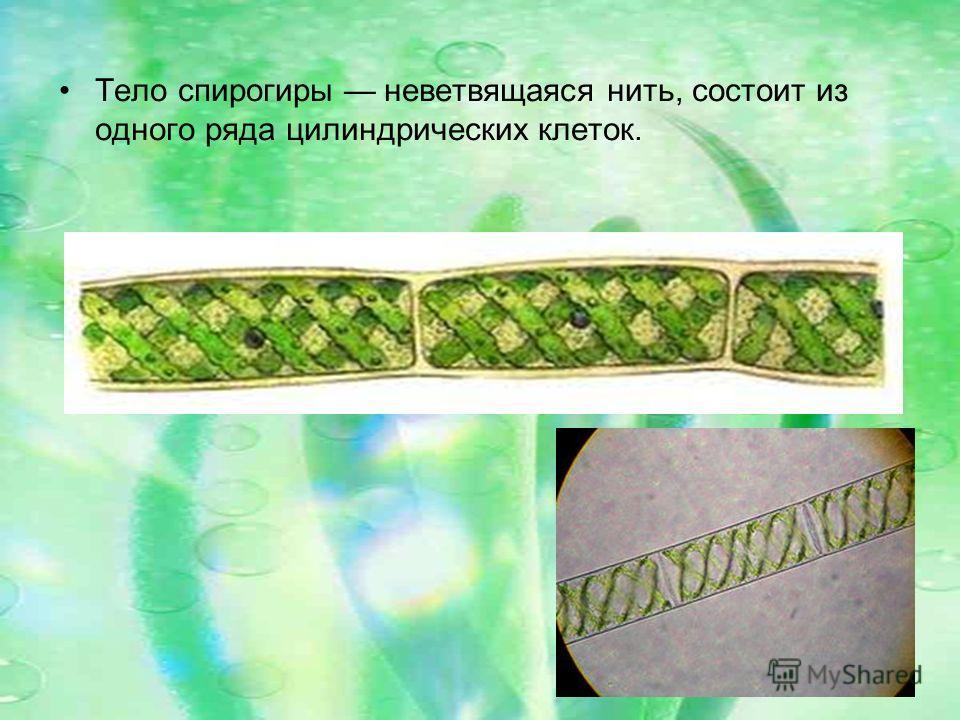 Тело спирогиры неветвящаяся нить, состоит из одного ряда цилиндрических клеток.