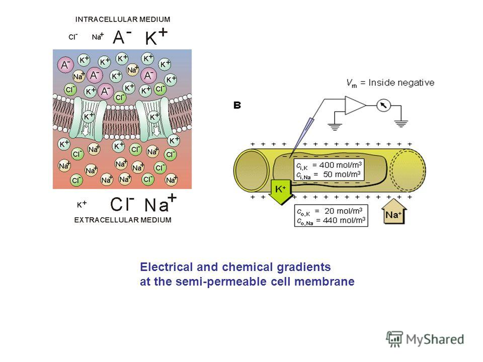 Electrical and chemical gradients at the semi-permeable cell membrane