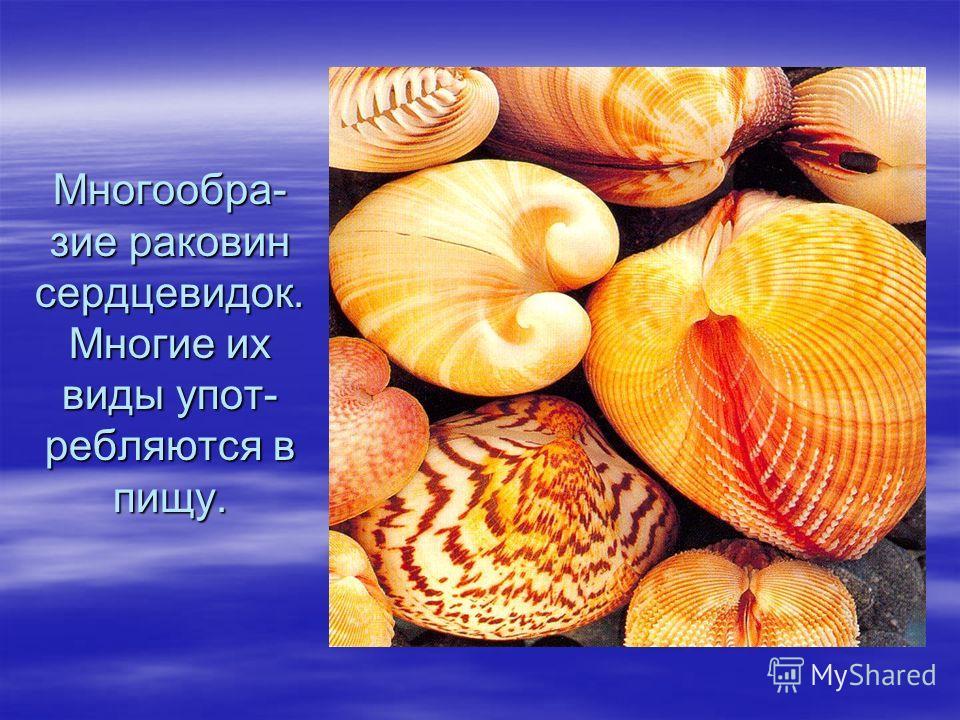 Многообра- зие раковин сердцевидок. Многие их виды упот- ребляются в пищу.