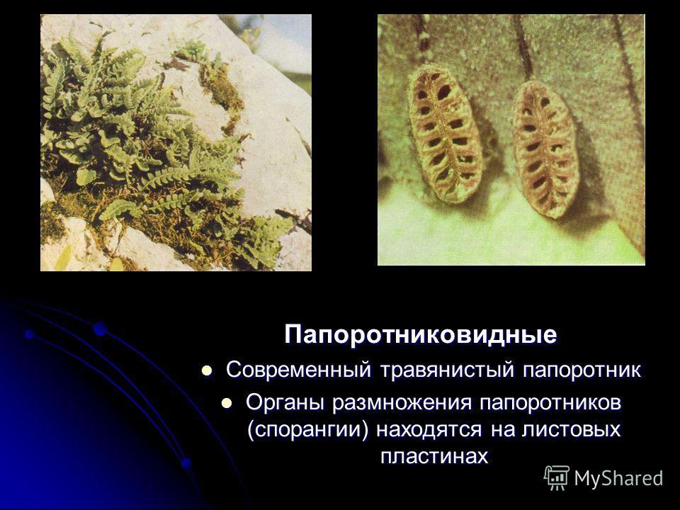 Папоротниковидные Современный травянистый папоротник Современный травянистый папоротник Органы размножения папоротников (спорангии) находятся на листовых пластинах Органы размножения папоротников (спорангии) находятся на листовых пластинах
