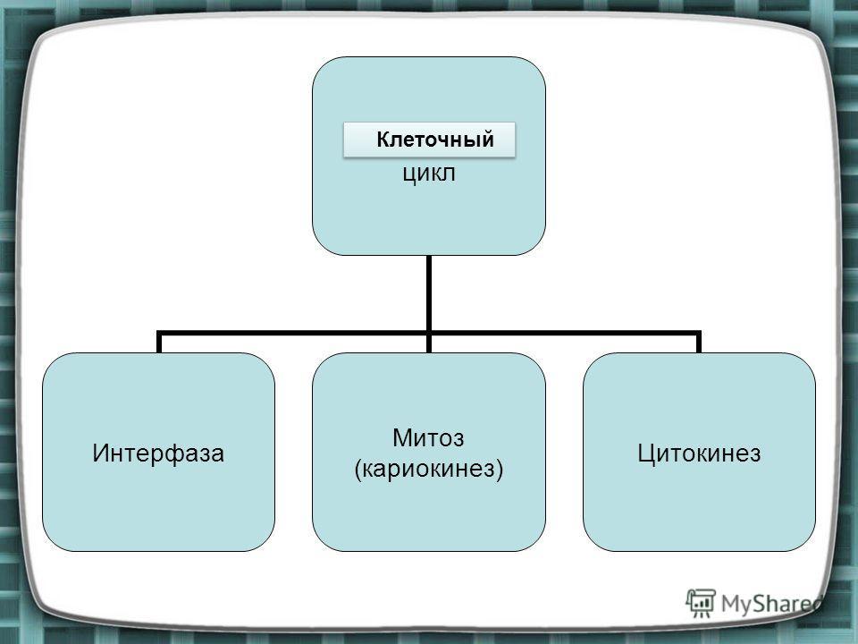 Митотический цикл Интерфаза Митоз (кариокинез) Цитокинез Клеточный