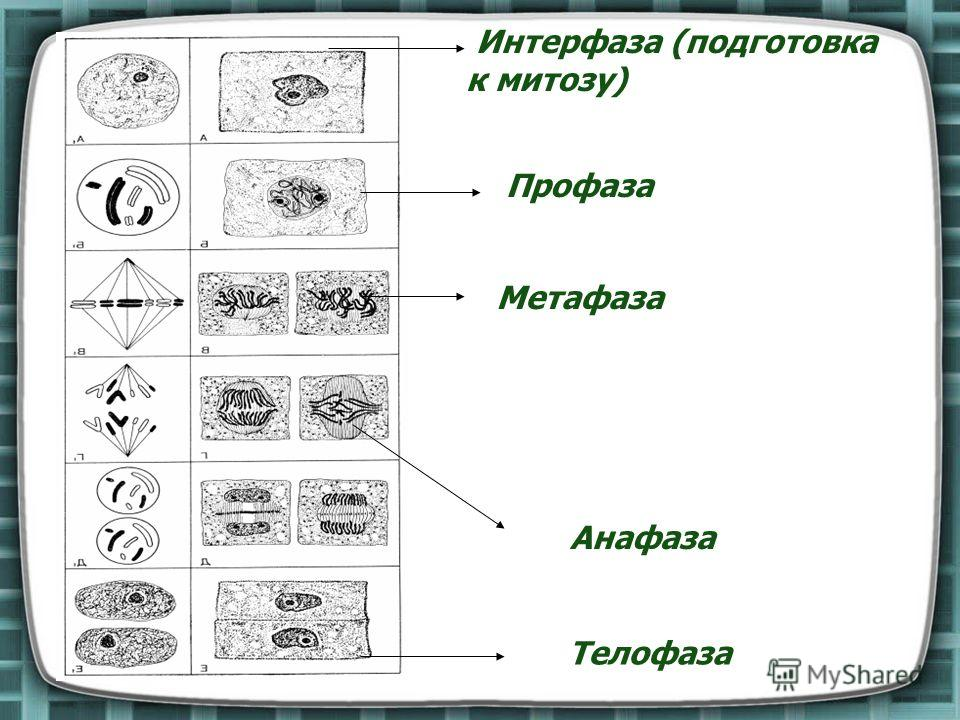 Метафаза фото