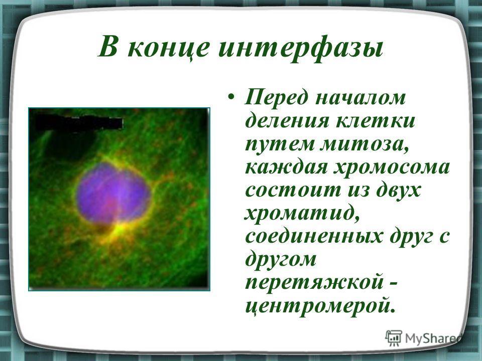 В конце интерфазы Перед началом деления клетки путем митоза, каждая хромосома состоит из двух хроматид, соединенных друг с другом перетяжкой - центромерой.