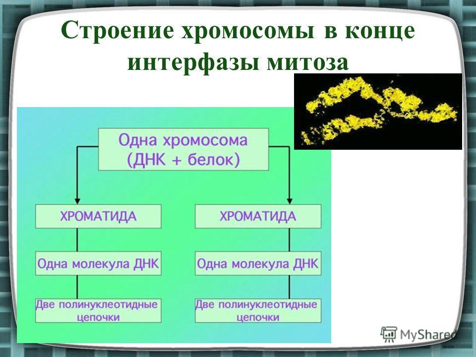 Строение хромосомы в конце интерфазы митоза