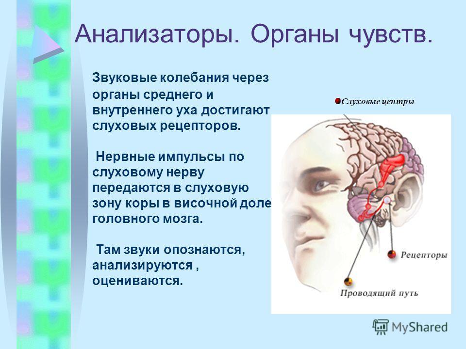 Анализаторы. Органы чувств. Звуковые колебания через органы среднего и внутреннего уха достигают слуховых рецепторов. Нервные импульсы по слуховому нерву передаются в слуховую зону коры в височной доле головного мозга. Там звуки опознаются, анализиру