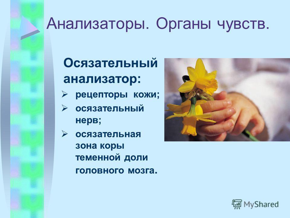 Анализаторы. Органы чувств. Осязательный анализатор: рецепторыкожи; осязательный нерв; осязательная зона коры теменной доли головного мозга.