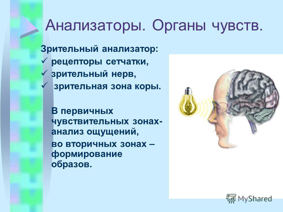 Анализаторы. Органы чувств. Зрительный анализатор: рецепторы сетчатки, зрительный нерв, зрительная зона коры. В первичных чувствительных зонах- анализ ощущений, во вторичных зонах – формирование образов.