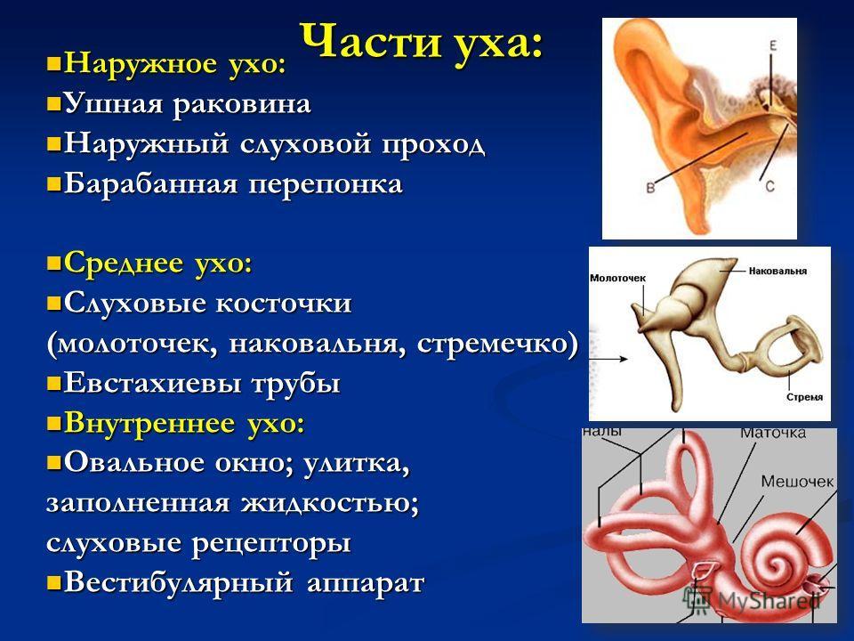 Части уха наружное ухо наружное ухо