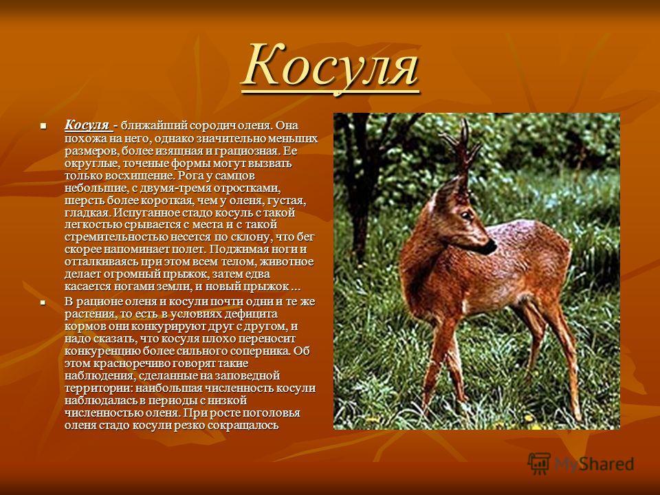 Косуля Косуля - ближайший сородич оленя. Она похожа на него, однако значительно меньших размеров, более изящная и грациозная. Ее округлые, точеные формы могут вызвать только восхищение. Рога у самцов небольшие, с двумя-тремя отростками, шерсть более