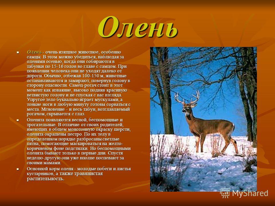 Олень Олень - очень изящное животное, особенно самцы. В этом можно убедиться, наблюдая за оленями осенью, когда они собираются в табунки по 15-16 голов во главе с самцом. При появлении человека они не уходят далеко от дороги. Обычно, отбежав 100-150
