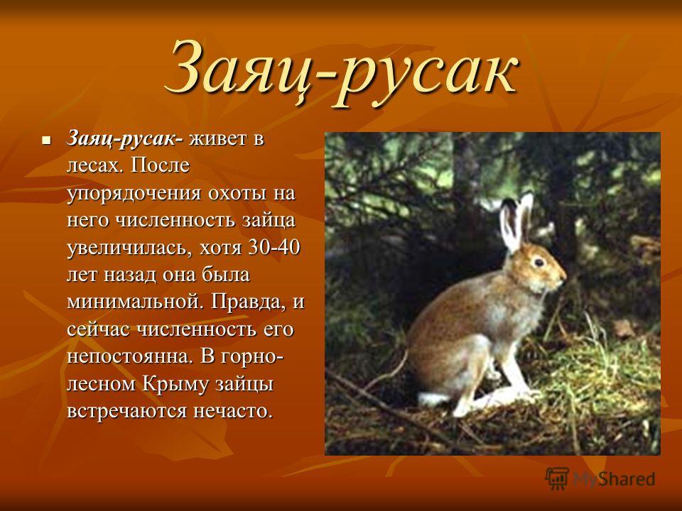 Заяц-русак Заяц-русак- живет в лесах. После упорядочения охоты на него численность зайца увеличилась, хотя 30-40 лет назад она была минимальной. Правда, и сейчас численность его непостоянна. В горно- лесном Крыму зайцы встречаются нечасто. Заяц-русак