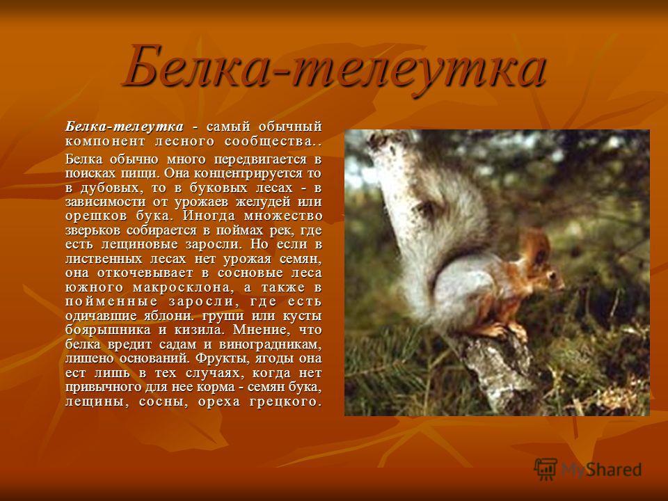 Белка-телеутка Белка-телеутка - самый обычный компонент лесного сообщества.. Белка обычно много передвигается в поисках пищи. Она концентрируется то в дубовых, то в буковых лесах - в зависимости от урожаев желудей или орешков бука. Иногда множество з