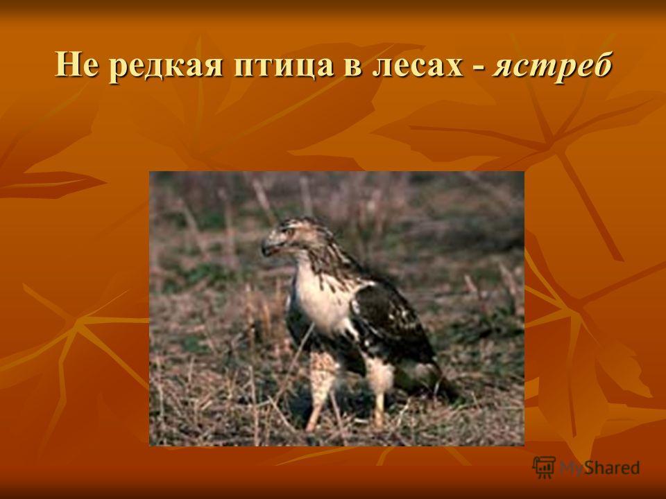 Не редкая птица в лесах - ястреб