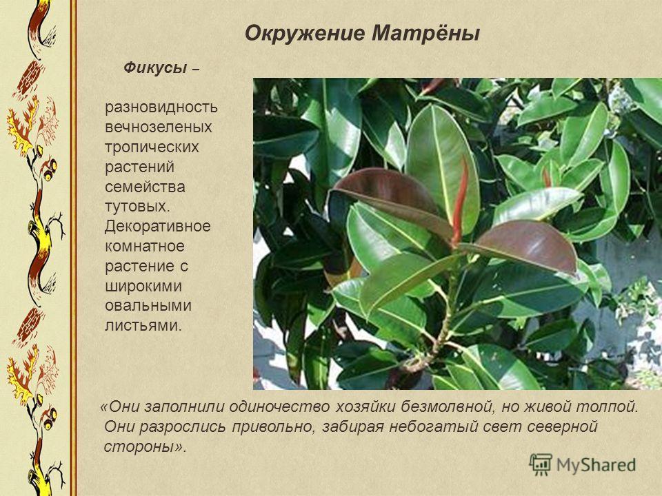 Фикусы – разновидность вечнозеленых тропических растений семейства тутовых. Декоративное комнатное растение с широкими овальными листьями. «Они заполнили одиночество хозяйки безмолвной, но живой толпой. Они разрослись привольно, забирая небогатый све