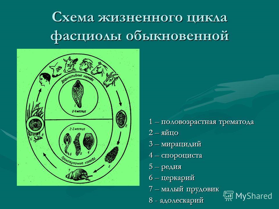 Схема жизненного цикла фасциолы обыкновенной 1 – половозрастная трематода 2 – яйцо 3 – мирацидий 4 – спороциста 5 – редия 6 – церкарий 7 – малый прудовик 8 - адолескарий