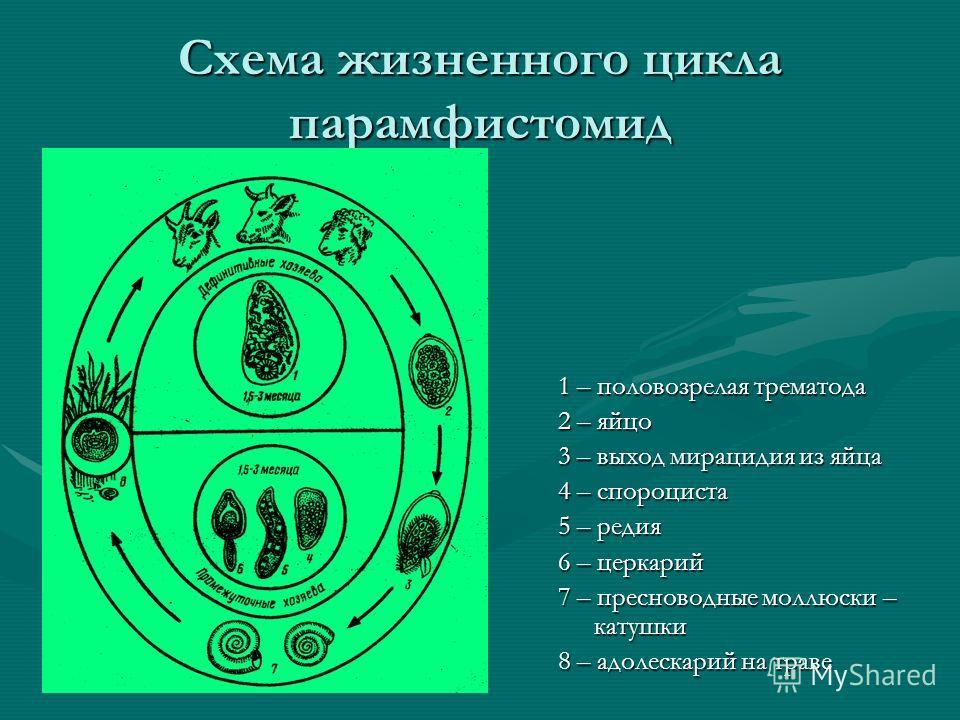 Схема жизненного цикла парамфистомид 1 – половозрелая трематода 2 – яйцо 3 – выход мирацидия из яйца 4 – спороциста 5 – редия 6 – церкарий 7 – пресноводные моллюски – катушки 8 – адолескарий на траве