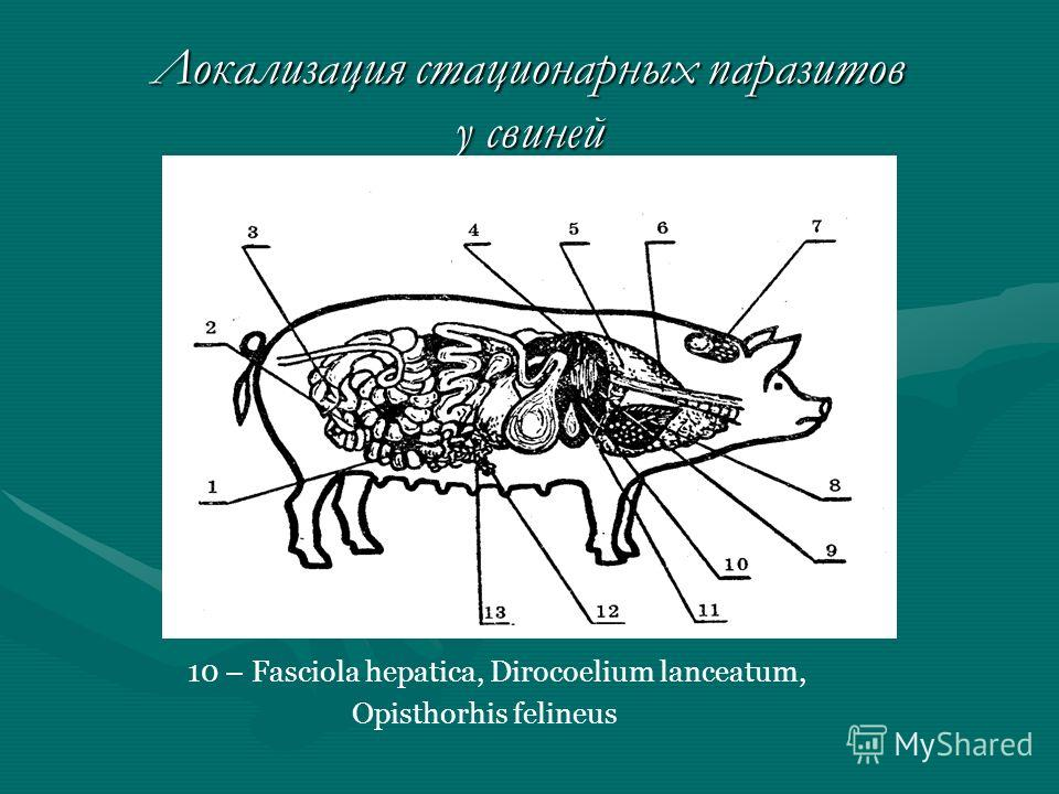 Локализация стационарных паразитов у свиней 10 – Fasciola hepatica, Dirocoelium lanceatum, Opisthorhis felineus