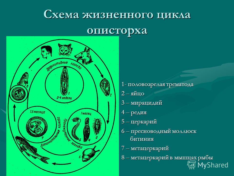 Схема жизненного цикла описторха 1- половозрелая трематода 2 – яйцо 3 – мирацидий 4 – редия 5 – церкарий 6 – пресноводный моллюск битиния 7 – метацеркарий 8 – метацеркарий в мышцах рыбы