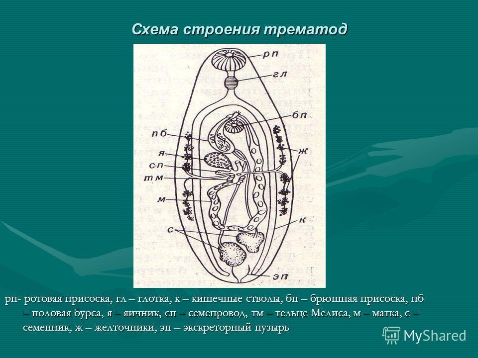 Схема строения трематод рп- ротовая присоска, гл – глотка, к – кишечные стволы, бп – брюшная присоска, пб – половая бурса, я – яичник, сп – семепровод, тм – тельце Мелиса, м – матка, с – семенник, ж – желточники, эп – экскреторный пузырь