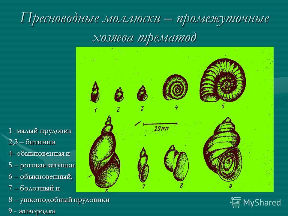 Пресноводные моллюски – промежуточные хозяева трематод 1- малый прудовик 2,3 – битинии 4- обыкновенная и 5 – роговая катушки 6 – обыкновенный, 7 – болотный и 8 – ушкоподобный прудовики 9 - живородка