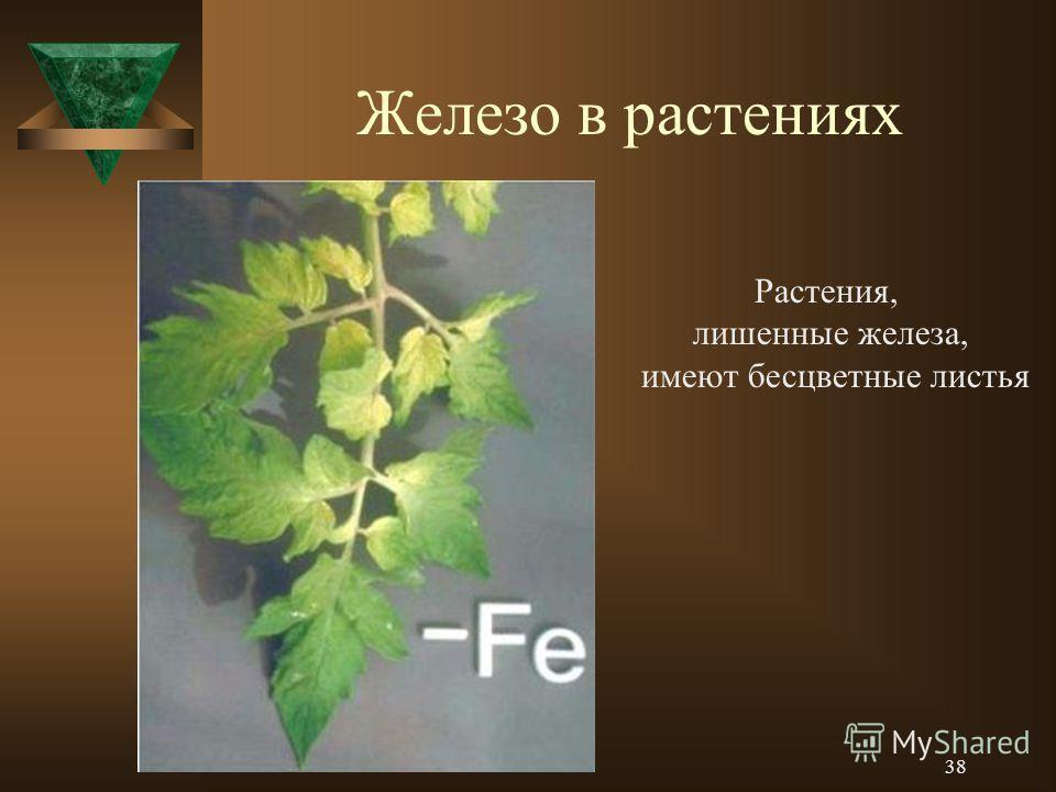 Железо в растениях Растения, лишенные железа, имеют бесцветные листья 38