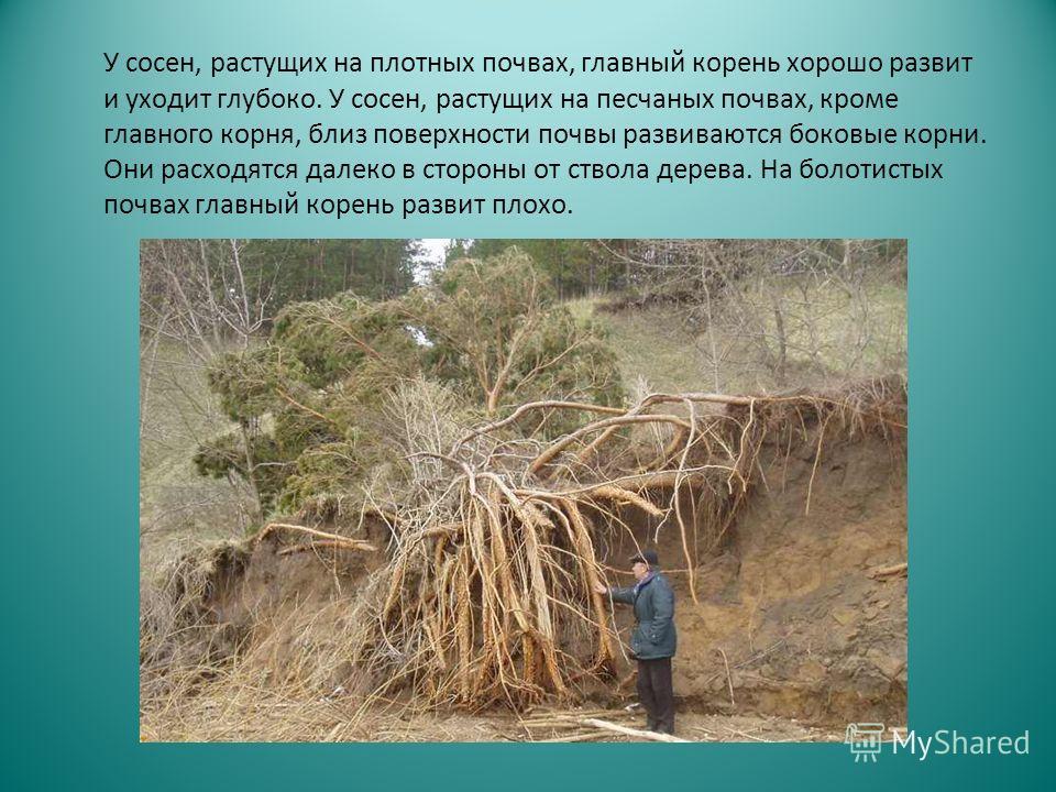 У сосен, растущих на плотных почвах, главный корень хорошо развит и уходит глубоко. У сосен, растущих на песчаных почвах, кроме главного корня, близ поверхности почвы развиваются боковые корни. Они расходятся далеко в стороны от ствола дерева. На бол