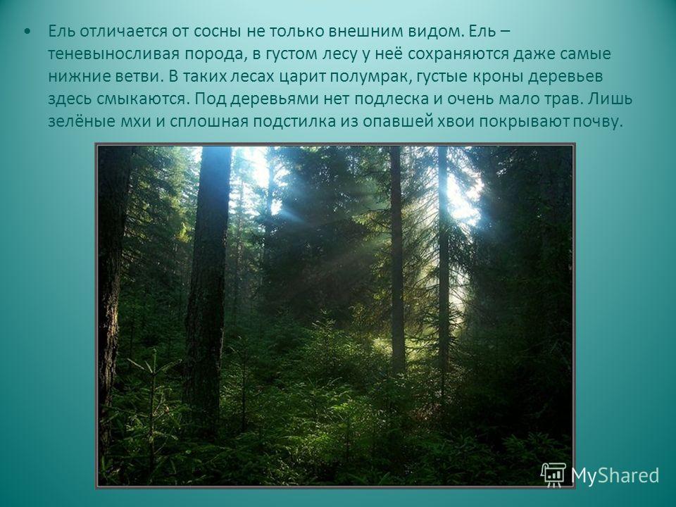 Ель отличается от сосны не только внешним видом. Ель – теневыносливая порода, в густом лесу у неё сохраняются даже самые нижние ветви. В таких лесах царит полумрак, густые кроны деревьев здесь смыкаются. Под деревьями нет подлеска и очень мало трав.