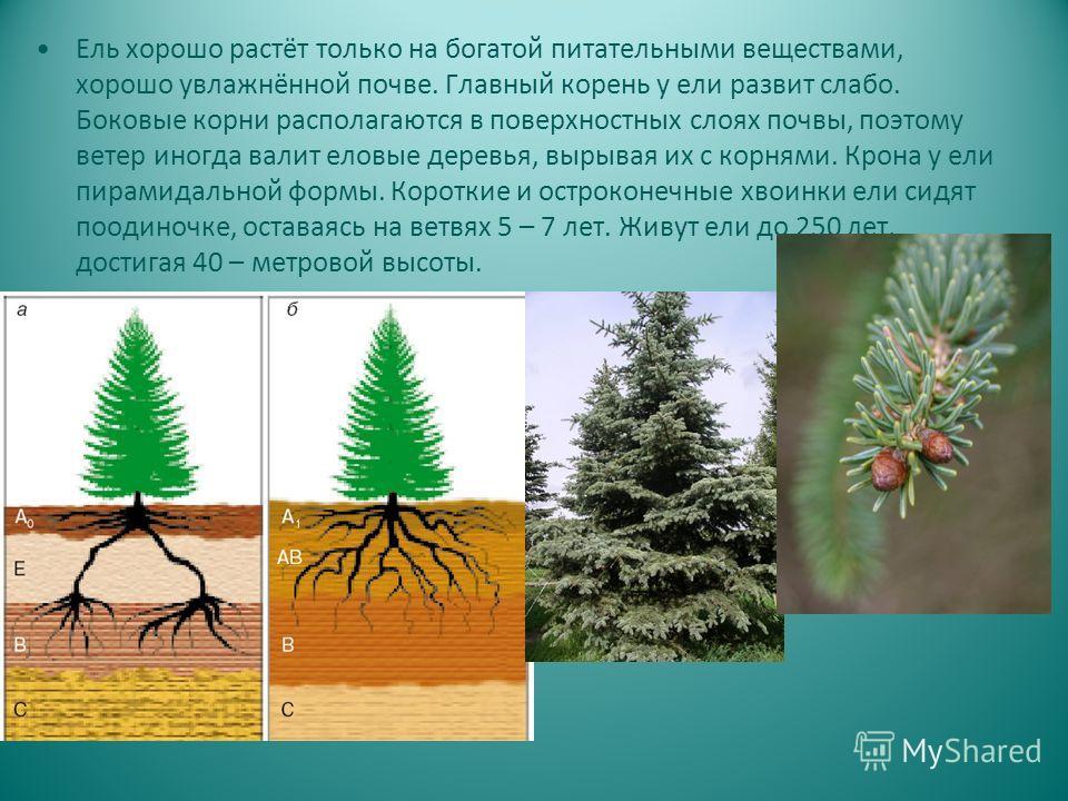 Ель хорошо растёт только на богатой питательными веществами, хорошо увлажнённой почве. Главный корень у ели развит слабо. Боковые корни располагаются в поверхностных слоях почвы, поэтому ветер иногда валит еловые деревья, вырывая их с корнями. Крона