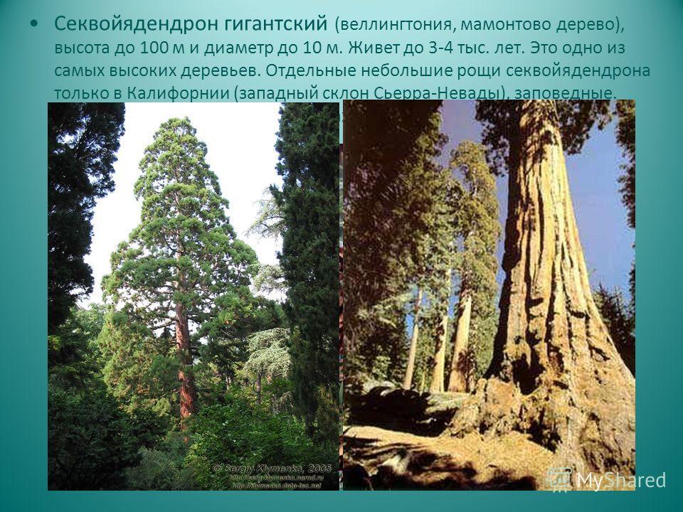 Секвойядендрон гигантский (веллингтония, мамонтово дерево), высота до 100 м и диаметр до 10 м. Живет до 3-4 тыс. лет. Это одно из самых высоких деревьев. Отдельные небольшие рощи секвойядендрона только в Калифорнии (западный склон Сьерра-Невады), зап