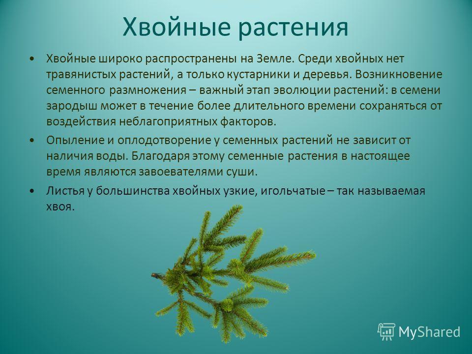 Хвойные растения Хвойные широко распространены на Земле. Среди хвойных нет травянистых растений, а только кустарники и деревья. Возникновение семенного размножения – важный этап эволюции растений: в семени зародыш может в течение более длительного вр