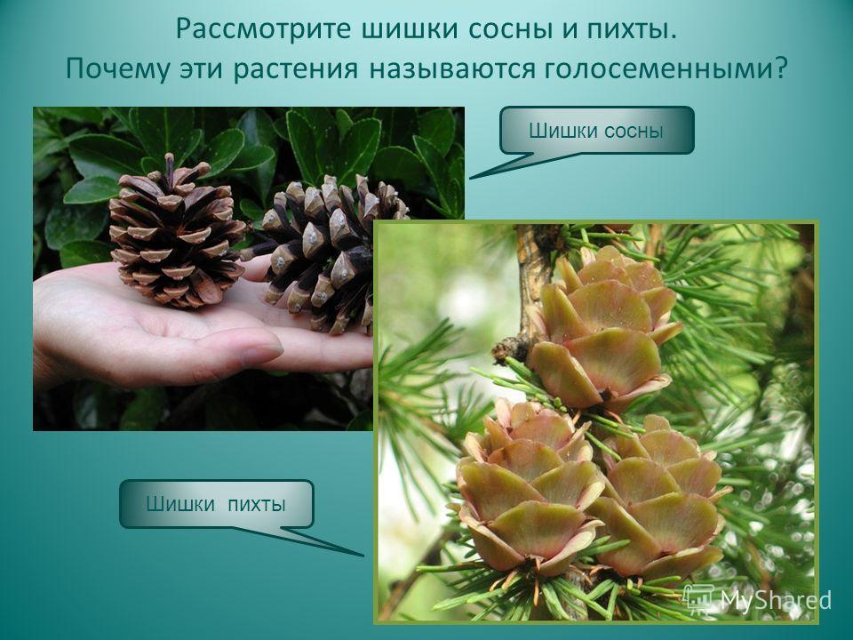 Рассмотрите шишки сосны и пихты. Почему эти растения называются голосеменными? Шишки сосны Шишки пихты
