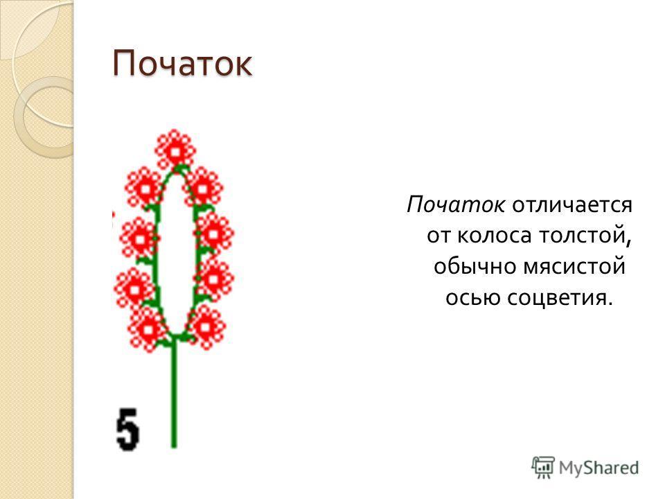 Початок Початок отличается от колоса толстой, обычно мясистой осью соцветия.