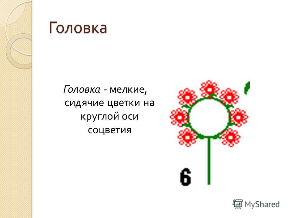 Головка Головка - мелкие, сидячие цветки на круглой оси соцветия