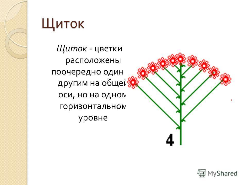 Щиток Щиток - цветки расположены поочередно один за другим на общей оси, но на одном горизонтальном уровне