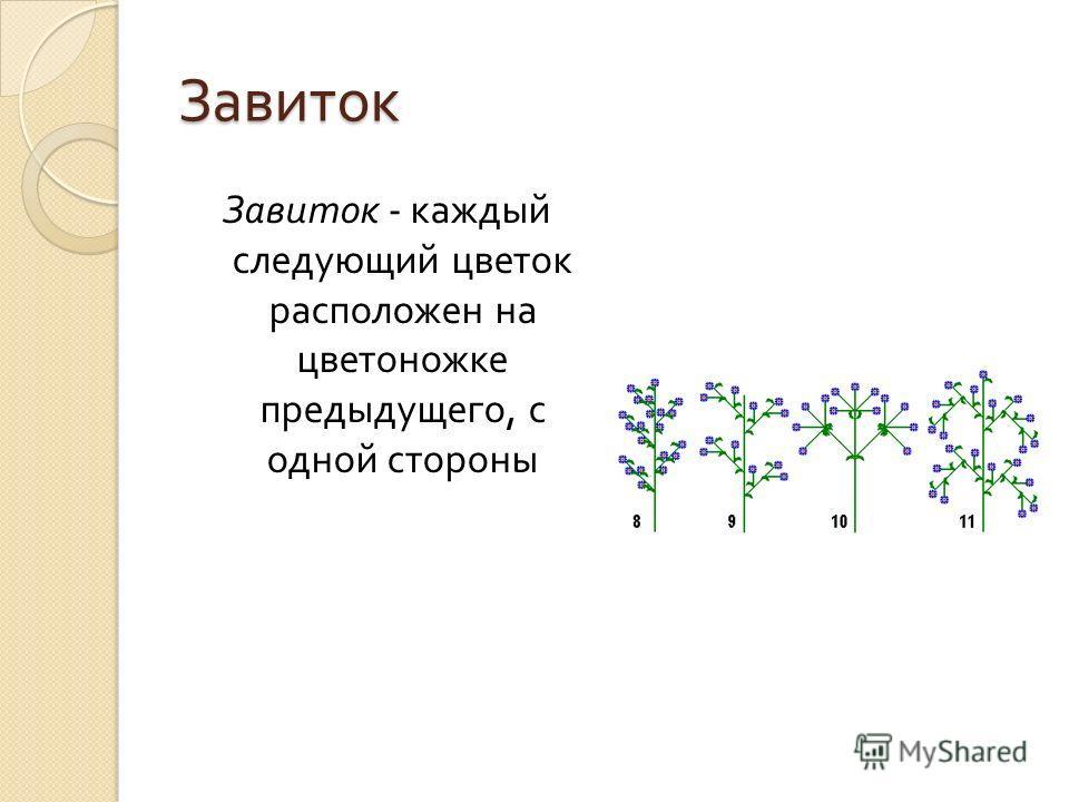 Завиток Завиток - каждый следующий цветок расположен на цветоножке предыдущего, с одной стороны