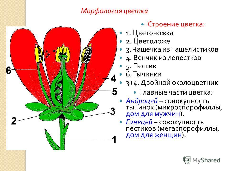 Строение цветка : 1. Цветоножка 2. Цветоложе 3. Чашечка из чашелистиков 4. Венчик из лепестков 5. Пестик 6. Тычинки 3+4. Двойной околоцветник Главные части цветка : Андроцей – совокупность тычинок ( микроспорофиллы, дом для мужчин ). Гинецей – совоку