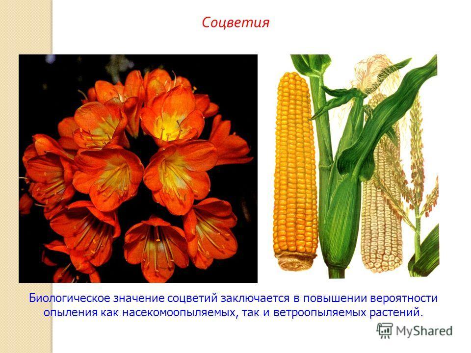 Биологическое значение соцветий заключается в повышении вероятности опыления как насекомоопыляемых, так и ветроопыляемых растений. Соцветия