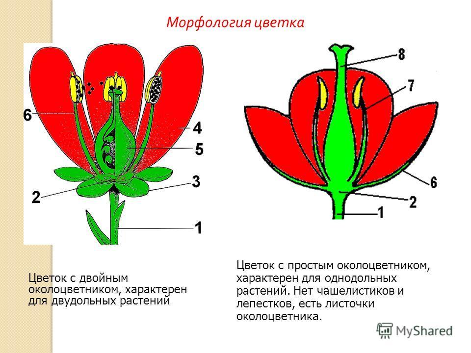 Цветок с двойным околоцветником, характерен для двудольных растений Цветок с простым околоцветником, характерен для однодольных растений. Нет чашелистиков и лепестков, есть листочки околоцветника. Морфология цветка