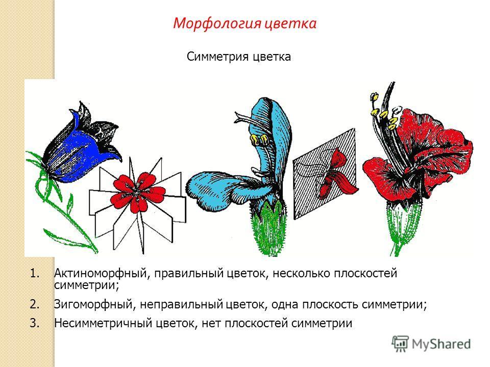1.Актиноморфный, правильный цветок, несколько плоскостей симметрии; 2.Зигоморфный, неправильный цветок, одна плоскость симметрии; 3.Несимметричный цветок, нет плоскостей симметрии Симметрия цветка Морфология цветка