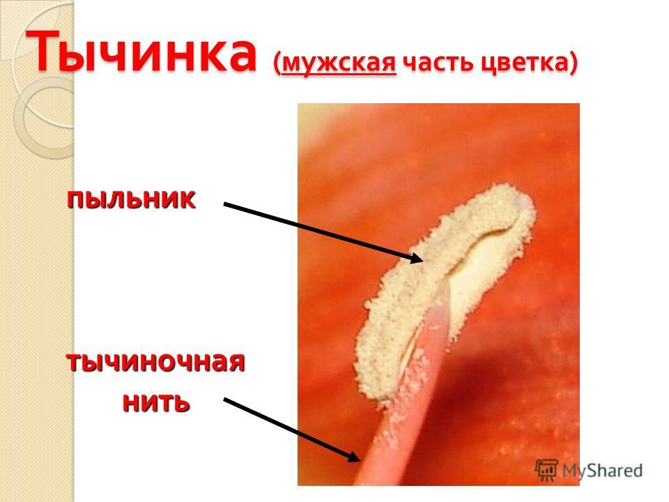 Тычинка ( мужская часть цветка ) пыльник тычиночная нить