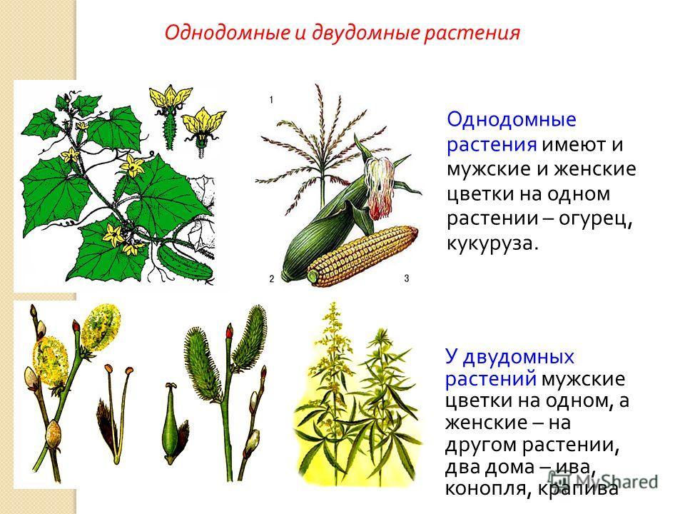 Однодомные растения имеют и мужские и женские цветки на одном растении – огурец, кукуруза. У двудомных растений мужские цветки на одном, а женские – на другом растении, два дома – ива, конопля, крапива Однодомные и двудомные растения