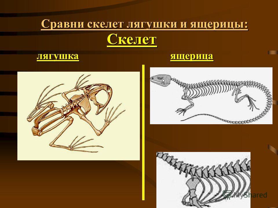 Сравни скелет лягушки и ящерицы: Скелет лягушкаящерица