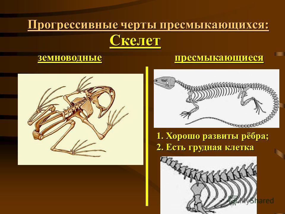 Прогрессивные черты пресмыкающихся: Скелет земноводныепресмыкающиеся 1. Хорошо развиты рёбра; 2. Есть грудная клетка