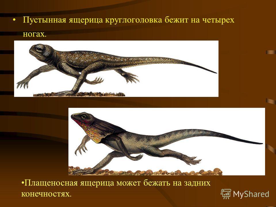Пустынная ящерица круглоголовка бежит на четырех ногах. Плащеносная ящерица может бежать на задних конечностях.