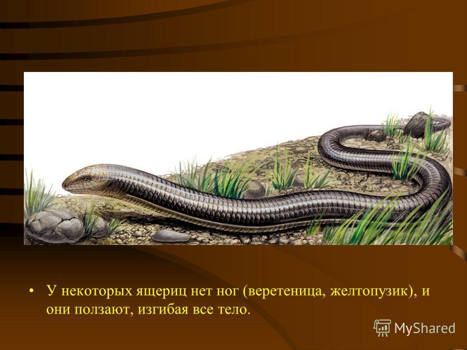 У некоторых ящериц нет ног (веретеница, желтопузик), и они ползают, изгибая все тело.