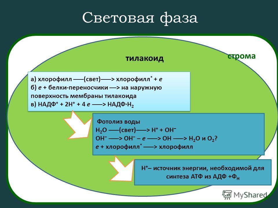 Световая фаза а) хлорофилл –––(свет)–––> хлорофилл * + e б) e + белки-переносчики ––> на наружную поверхность мембраны тилакоида в) НАДФ + + 2H + + 4 e –––> НАДФ·H 2 а) хлорофилл –––(свет)–––> хлорофилл * + e б) e + белки-переносчики ––> на наружную