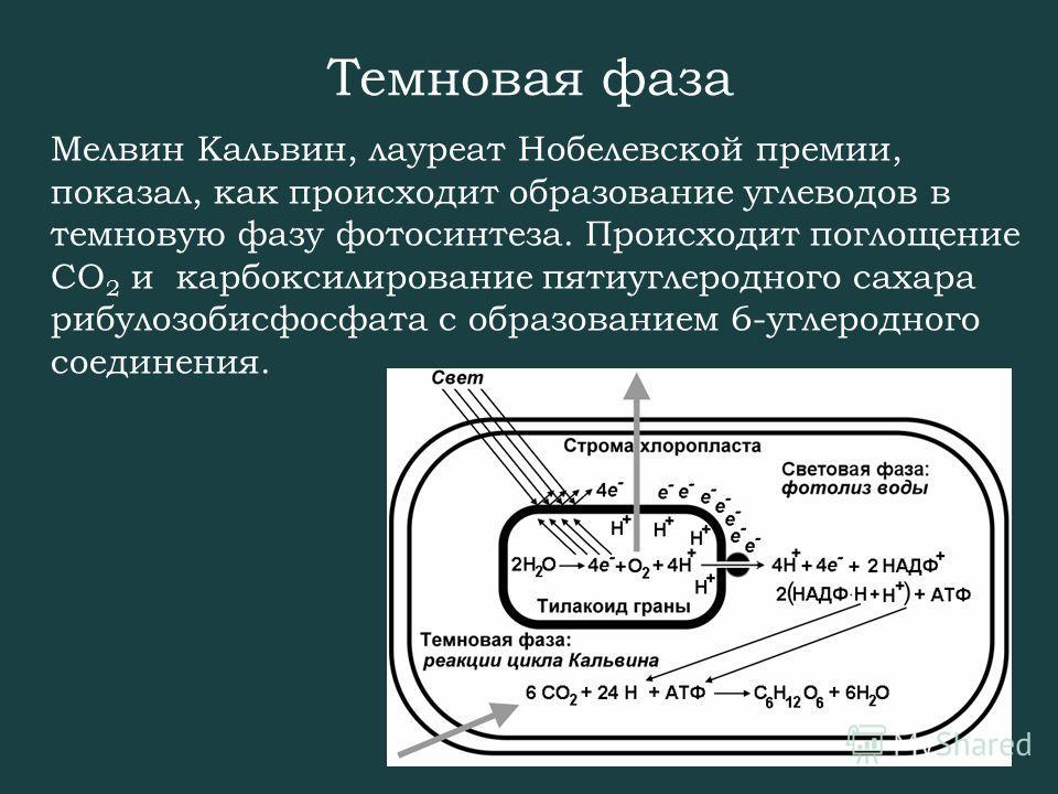 Темновая фаза Мелвин Кальвин, лауреат Нобелевской премии, показал, как происходит образование углеводов в темновую фазу фотосинтеза. Происходит поглощение СО 2 и карбоксилирование пятиуглеродного сахара рибулозобисфосфата с образованием 6-углеродного