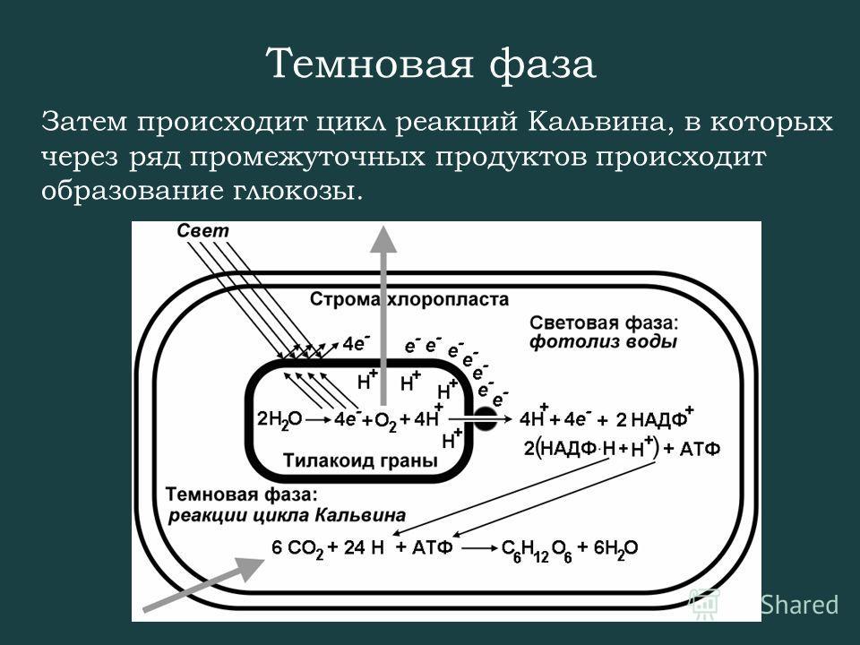 Темновая фаза Затем происходит цикл реакций Кальвина, в которых через ряд промежуточных продуктов происходит образование глюкозы.